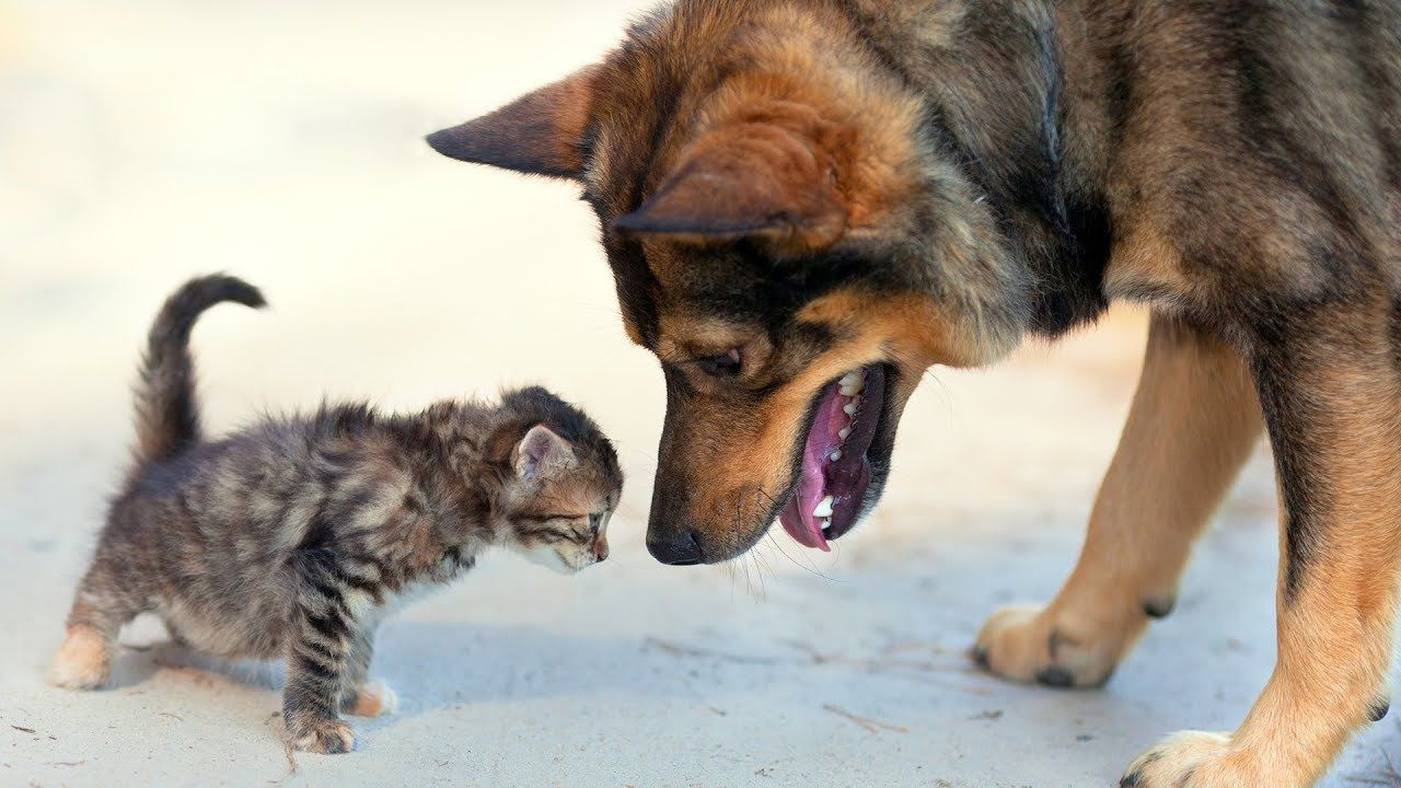 Dogs Meeting Kittens For The First Time Compilation 2014 Youtube Kittens Dogs Funny Cats And Dogs