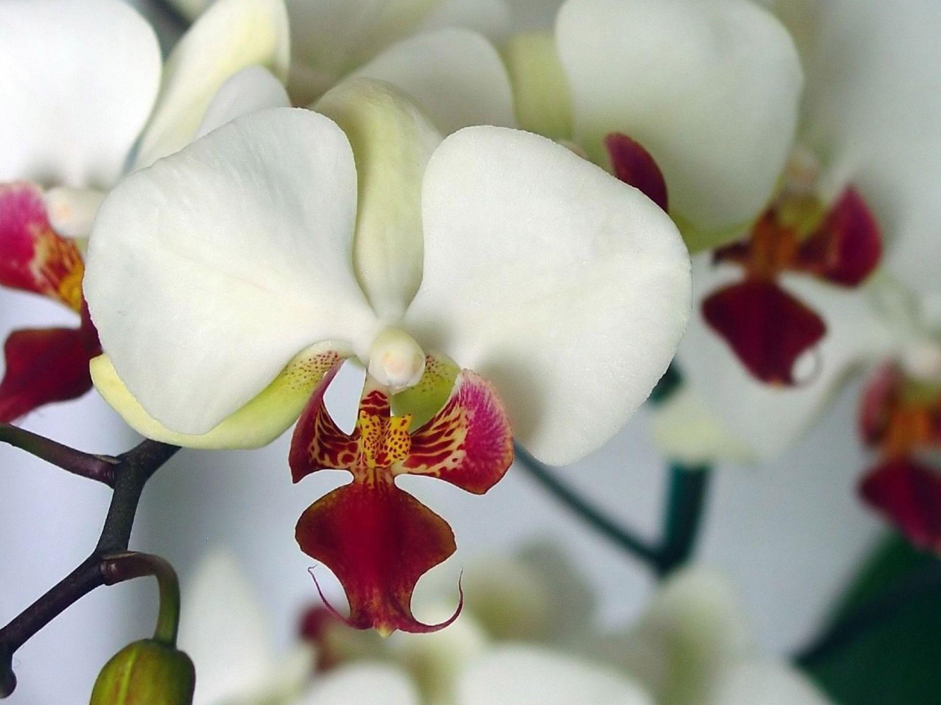 Orchidea Orchid Flower Flowers Orchid Wallpaper