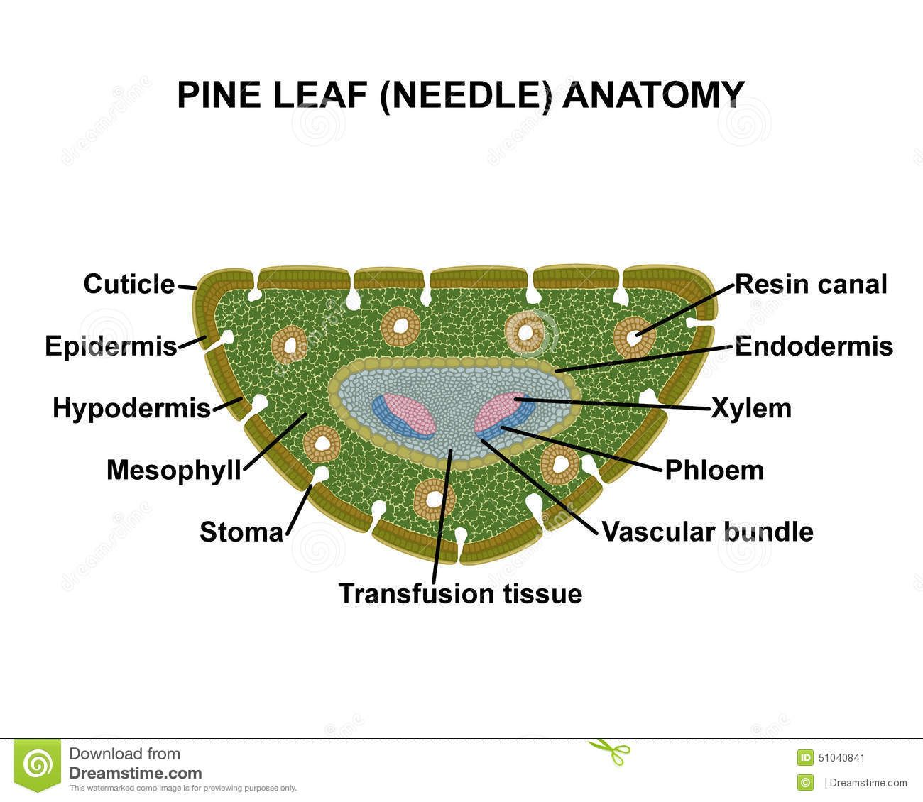 Pine Leaf Needle Anatomy Stock Illustration Illustration Of Green 51040841 Pine Leaf Botany Lessons Needle