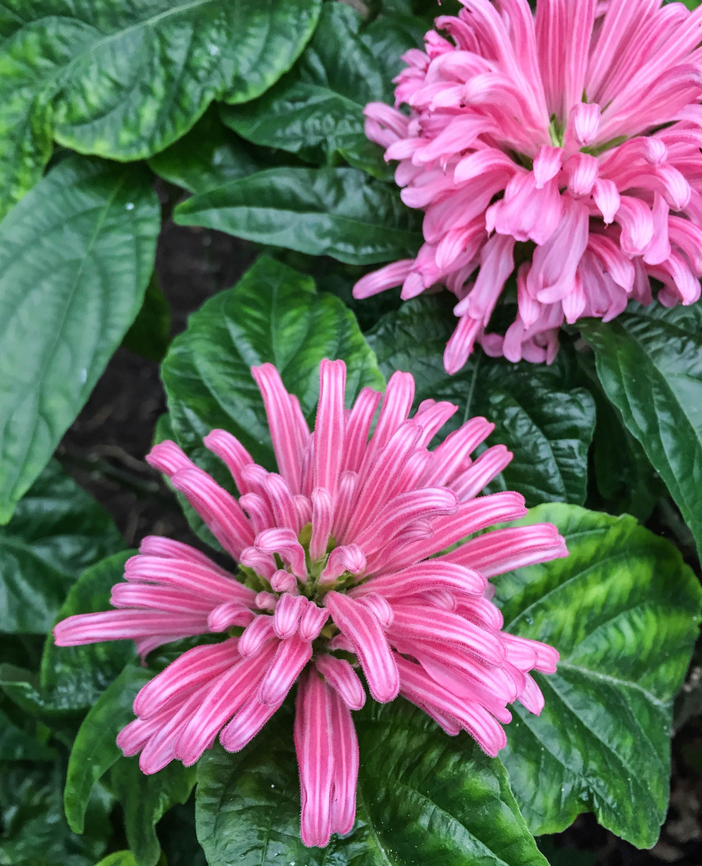 Justinia Carnea Brazilian Plume Flower Or Flamingo Flower Is A