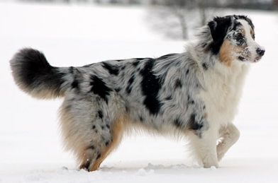 Kiwi The Australian Shepherd Shows How Merle Can Darken With Age