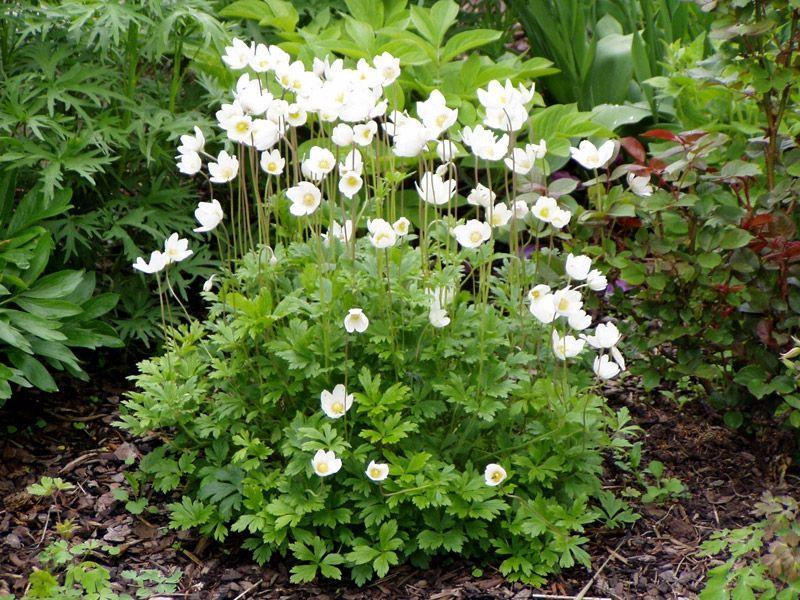 Waldanemone (Syn. Waldwindröschen) - Anemone sylvestris - Kleinbleibende Blütenstaude