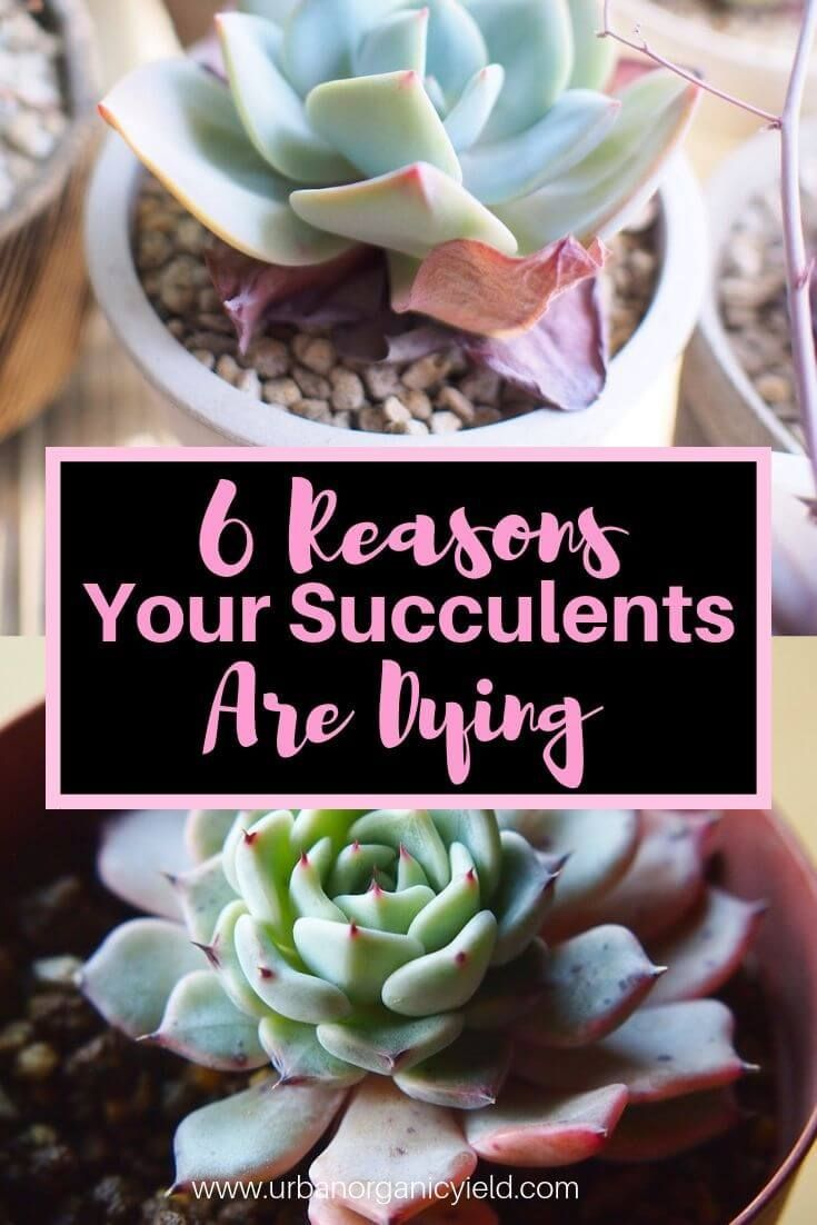 Why Are My Succulents Dying Learn How To Revive A