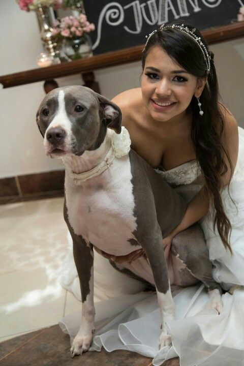 Pitbull Wedding Dog Pitbull Wedding Dog Wedding Wedding