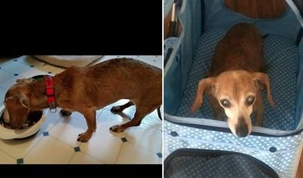 Lost Dog Dachshund Miniature Jacksonville Fl United States