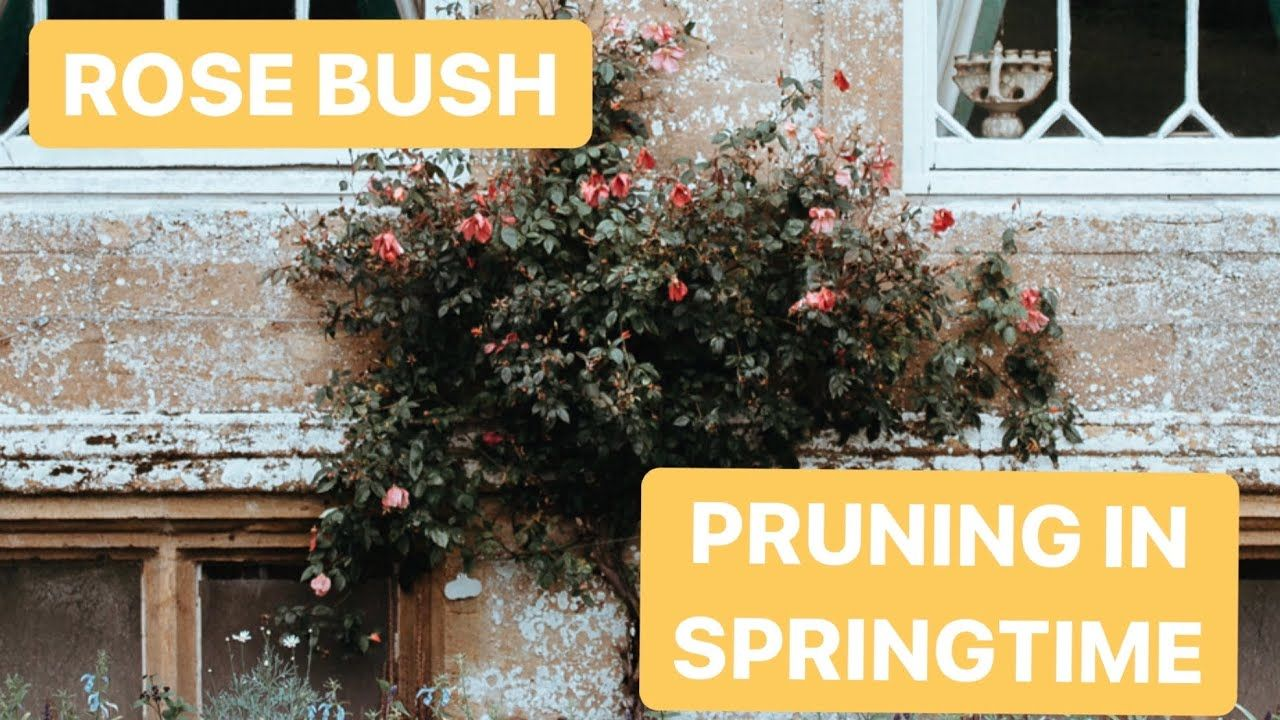 How To Rose Bush Pruning Spring Video In Five Mins And What Time Of Year To Prune Your Rose Bush Youtube Rose Bush Pruning Roses Prune