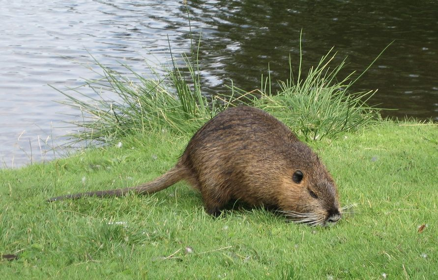 Muskrat Did I Have One Of These In My Yard In Ct I Thought It Was A Groundhog But This Looks Much Mo Animal Spirit Guides Animal Spirit Guide Animal Guides