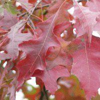 Das sind die Blätter Quercus palustris 'Green Dwarf' / Kugelsumpfeiche '/ Nadel-Eiche': Die kugelig dichte Krone verfärbt sich im Herbst in verschiedenen Rottönen.