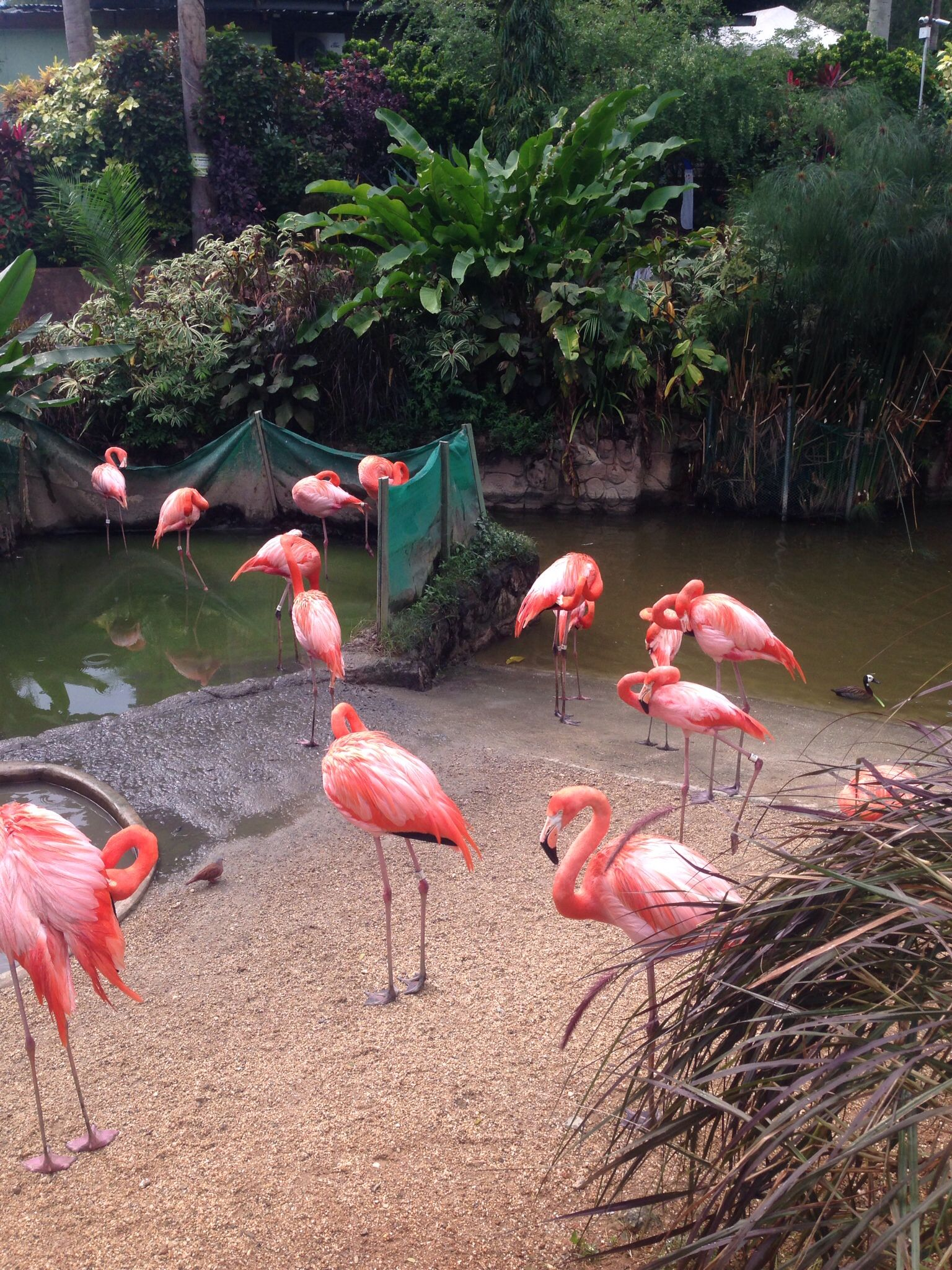Flamingos at Trinidad and Tobago Emperor Valley Zoo in