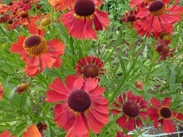 Helenium Moerheim Beauty Needs repropogating every few years Piet