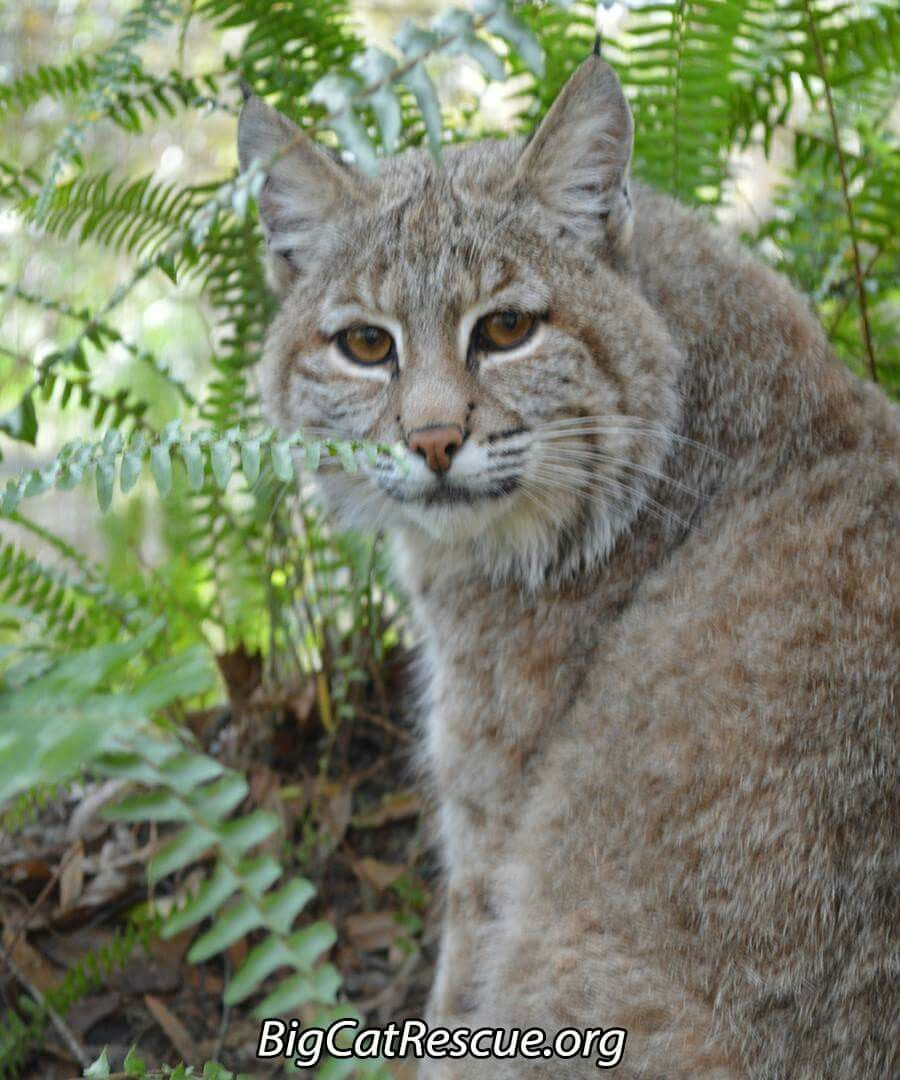 Pin by Diana Hilligoss on Wild Cat Rescue (With images