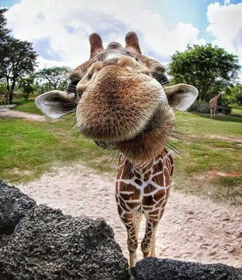 che baffi!!!!! Animals And More! Pinterest Giraffe, Animal - griffe für küche