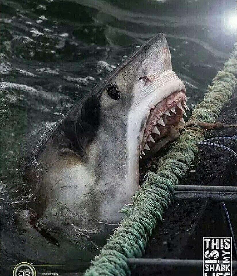 ...chomp! | Great white shark, White sharks, Shark attack
