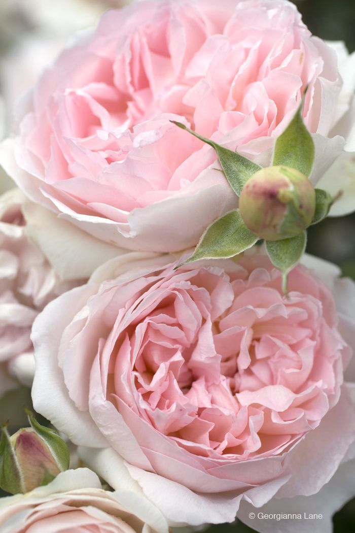 Roses by Georgianna Lane