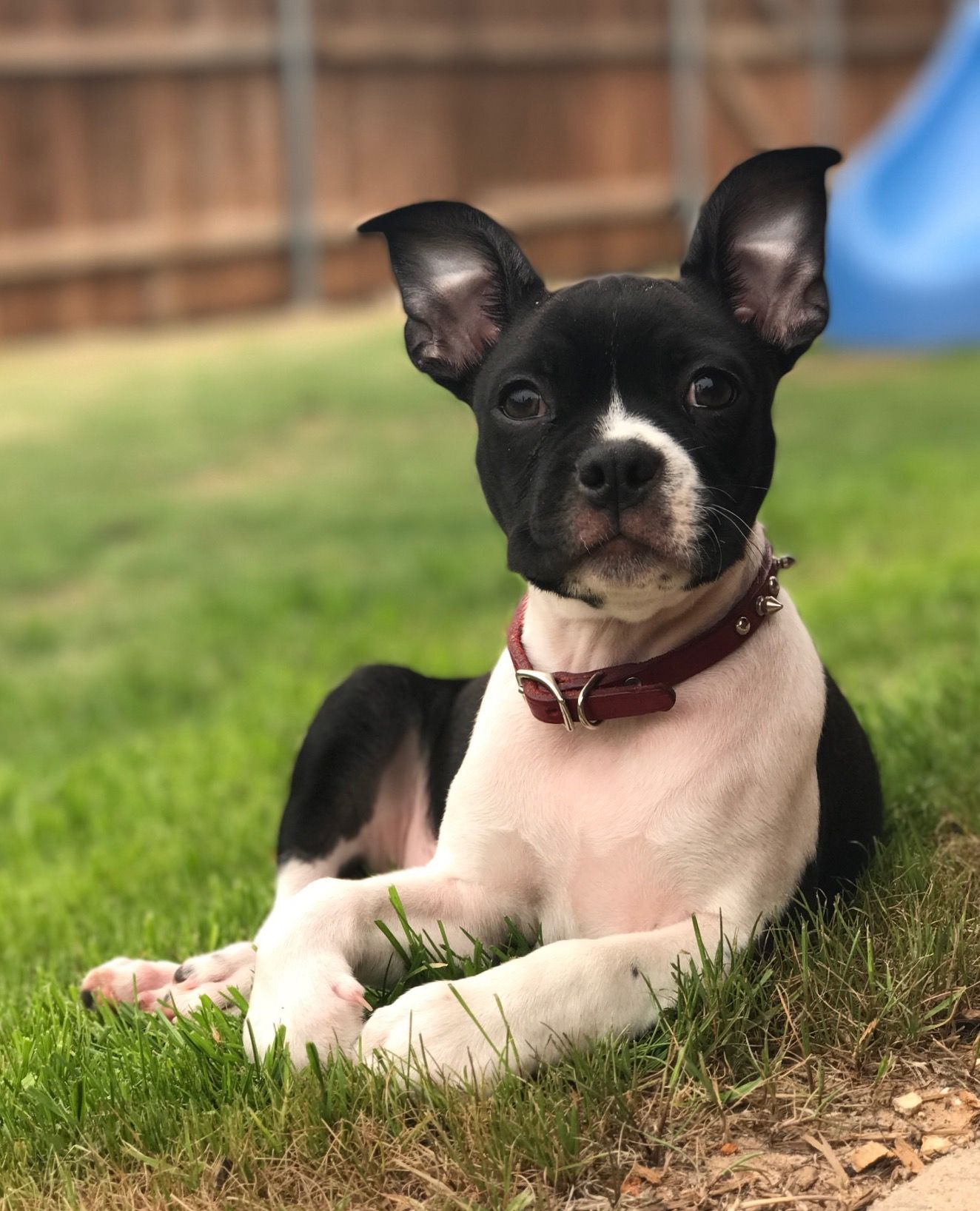Chihuahua dog for Adoption in North Richland Hills, TX