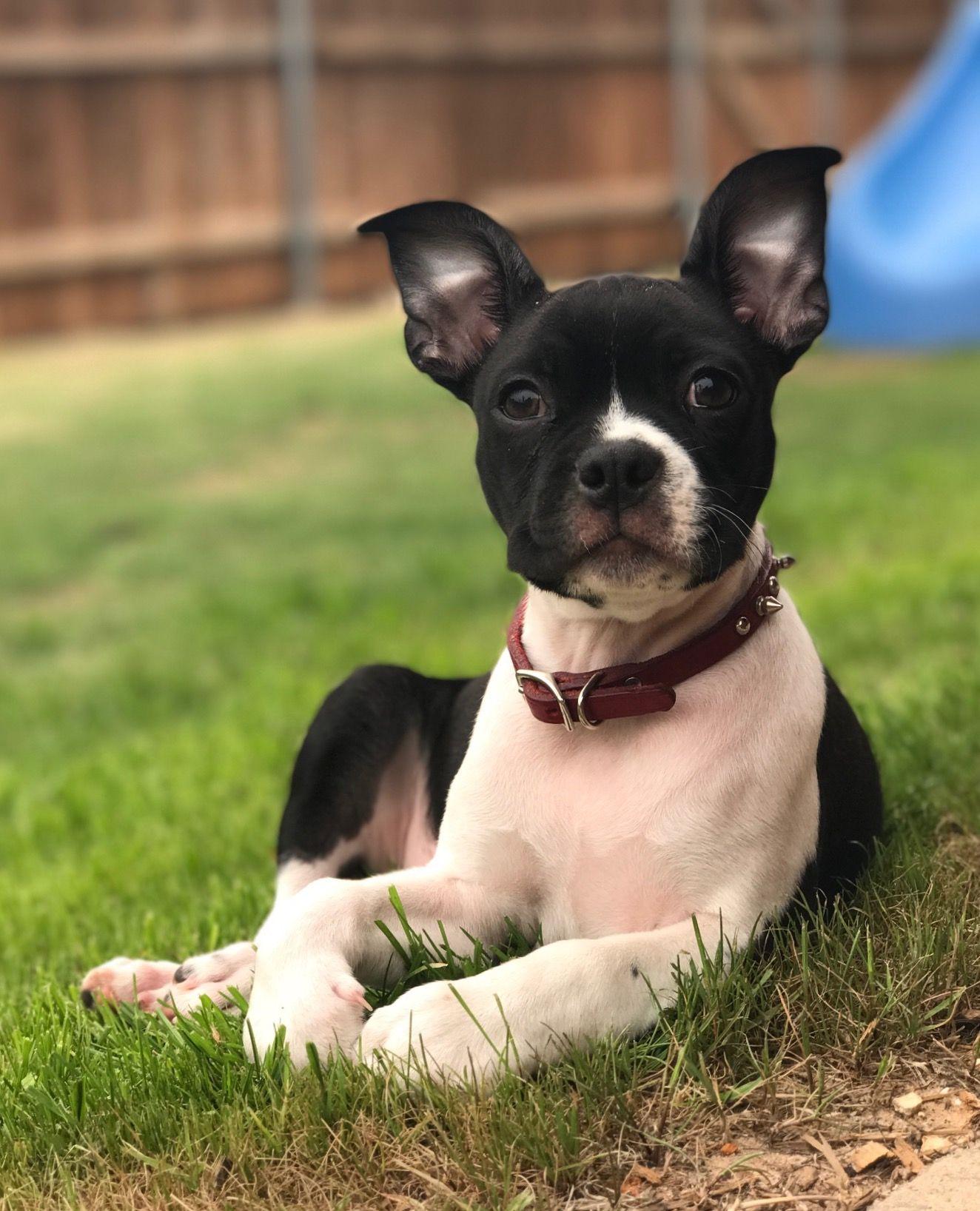 Chó Chihuahua lai Chó Sục Boston