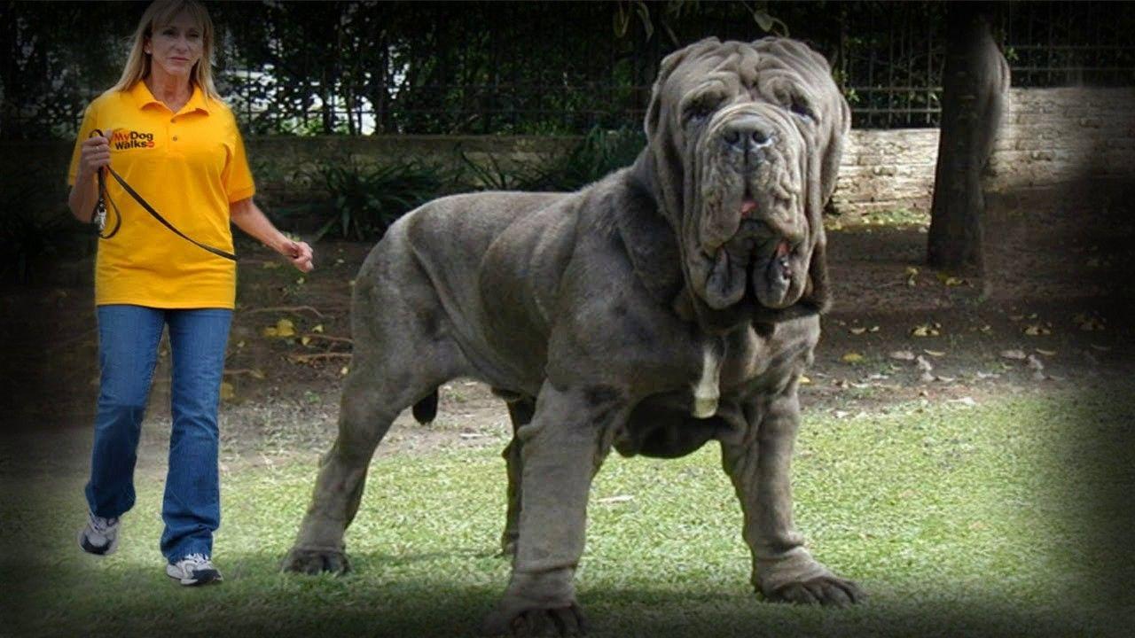 Dogo Argentino English Mastiff Dog