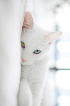 White Cat Just Like My Yoda One Blue Eye And One Green