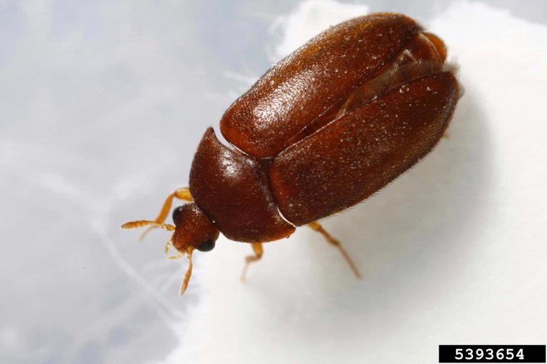 Black Carpet Beetles Black Carpet How To Get Rid Beetle