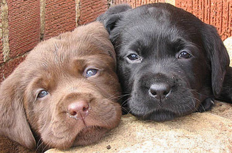 Adorable Cute Brown Black Labrador Puppies Together Cute Dogs Pets Cute Animals