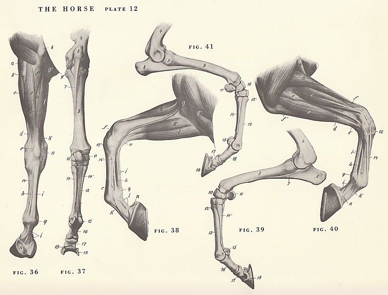 Vintage Horse Leg Hoof Joint Anatomy Illustration Book Page