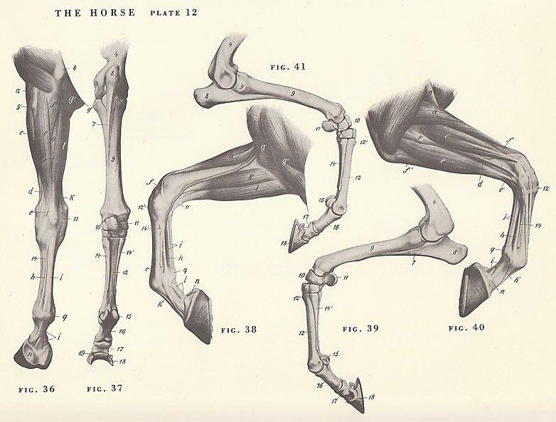 Vintage Horse Leg Hoof Joint Anatomy Illustration Book Page ...