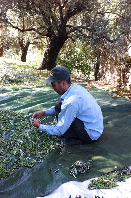 Picking and sorting olives