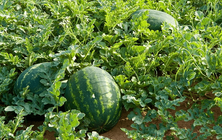 How To Sweeten A Watermelon 5 Tricks You Need To Know When Growing Watermelons Watermelon Farming Watermelon Plant How To Grow Watermelon