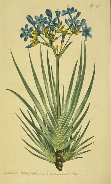"""""""Corymbose Witsenia"""" ~ love the blue flowers :)"""