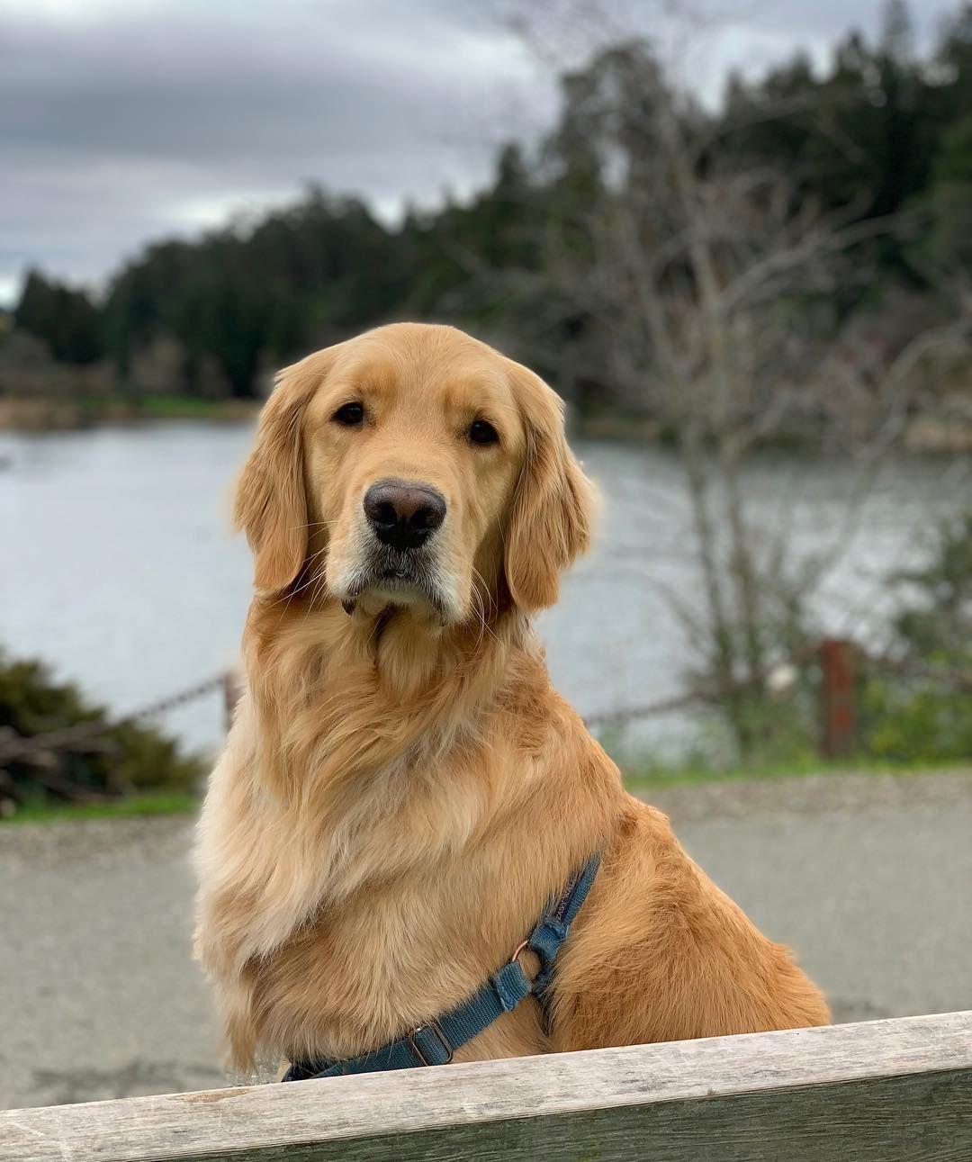 Oliver The Golden Retriever On Instagram Lake Life Dog