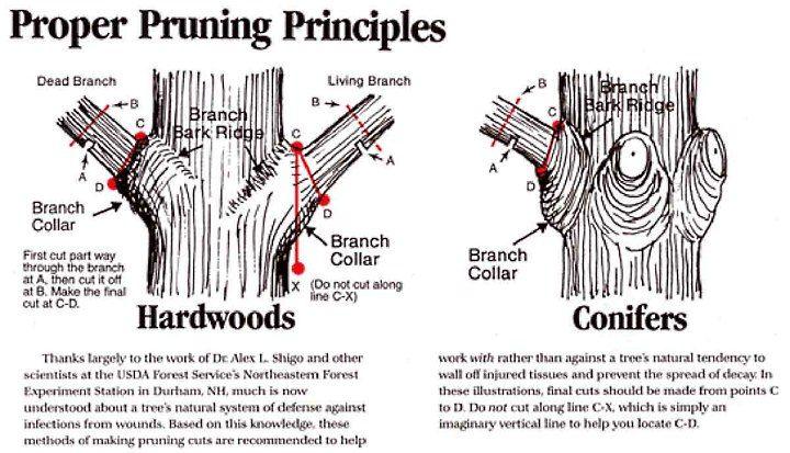 Tree Trim proper pruning ?