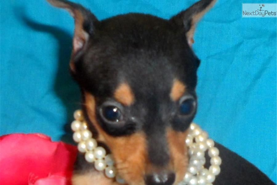 Charlie Petite Flight Included In The Price Miniature Pinscher