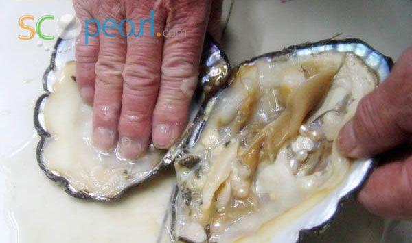 Freshwater Pearl Clam 3 Clams Fresh Water Food