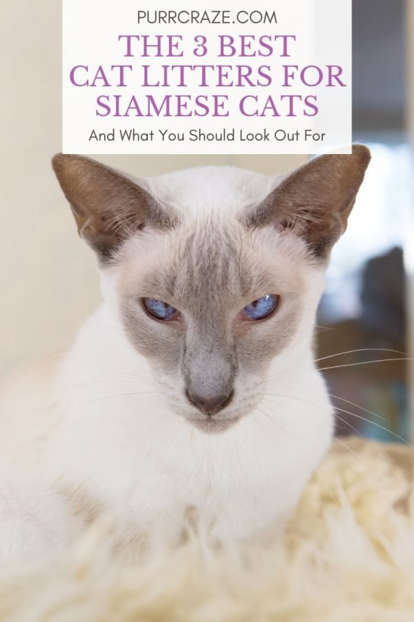 The 3 Best Cat Litters For Siamese Cats Hering