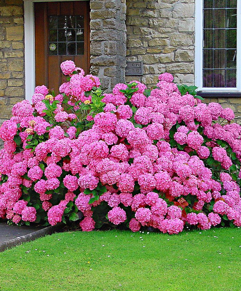 Hydrangea Rosita Trees And Shrubs From Spalding Bulb Beautiful Pink Flowers Hydrangea Garden Beautiful Flowers