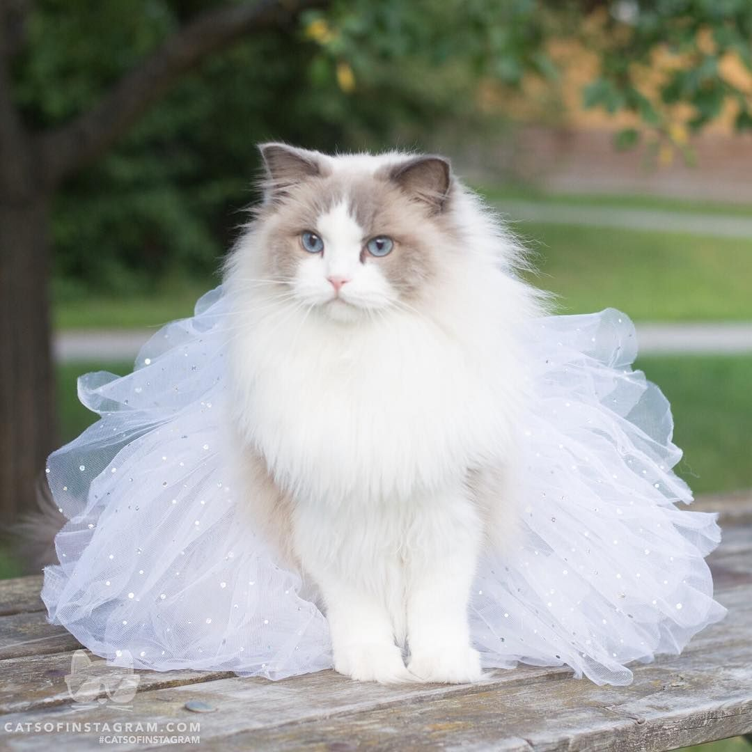 Can Any One Want To Merry With Me I Am So Beautiful Http Bit Ly 2cdcodv Fluffy Cat Cat Mom Gifts Cats And Kittens