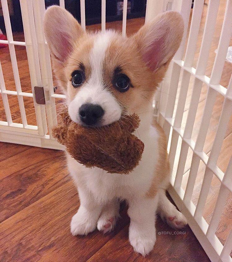 Cute Corgi Puppy Cute Corgi Puppies Funny Corgi Puppy Funny Corgi Puppies Cute Corgi Puppy Love Cute Corgi Puppy Cute Corgi Cute Baby Animals Cute Corgi Puppy