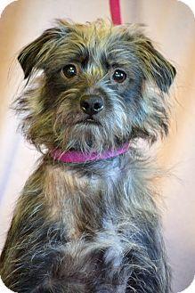 Hagerstown Md Cairn Terrier Schnauzer Miniature Mix Meet Dia