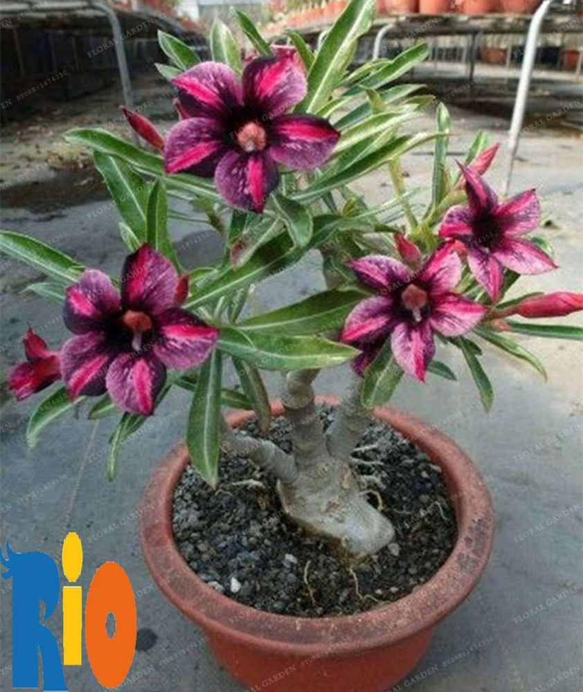 5 Pcs Adenium Obesum Bonsai Seeds, Desert Rose Flower