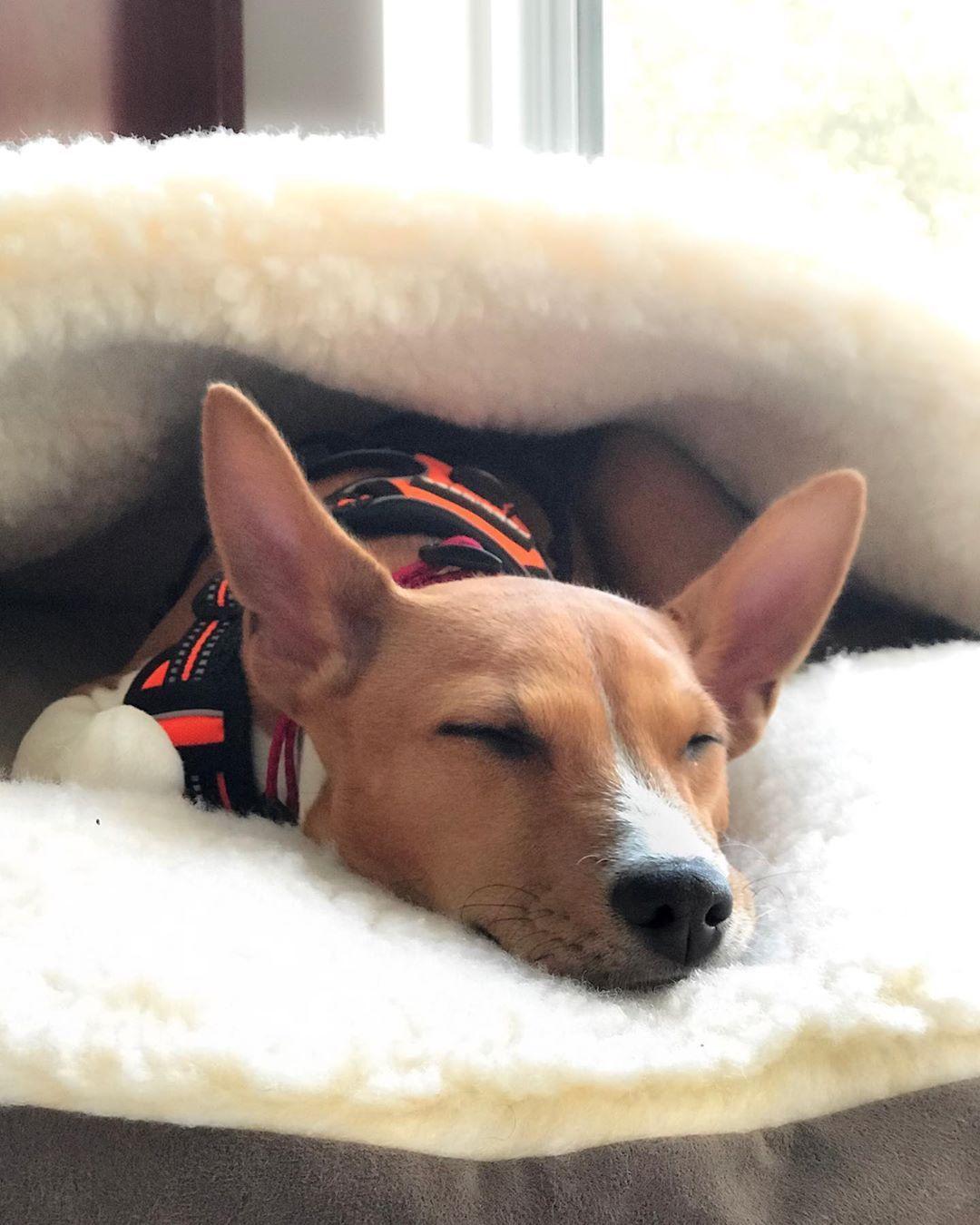 Saturday morning mood with teddy_the_basenji sleep
