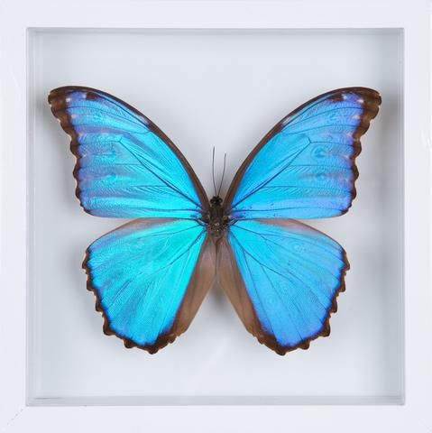 Marvelous The Giant Blue Morpho Butterfly   Framed Butterfly   See Through Glass  Frame   Natural History Direct Online Shop   1