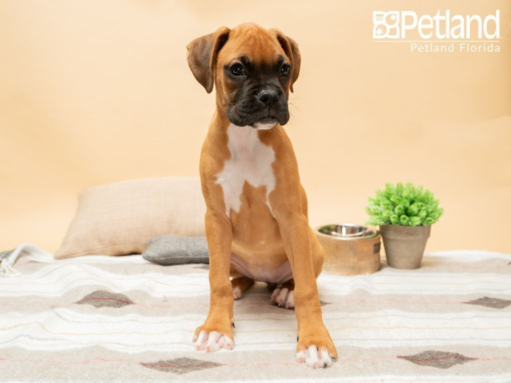 Petland Florida Has Boxer Puppies For Sale Check Out All Our Available Puppies Boxer Puppy Doglover Boxer Puppies Puppy Friends Boxer Puppies For Sale
