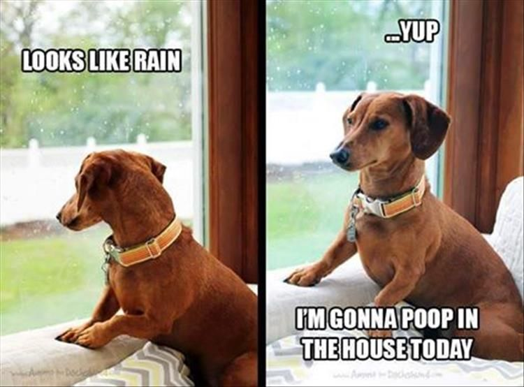 Funny Pictures Of The Day 43 Pics Funny Dachshund Dachshund