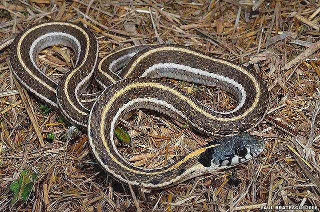 Eastern Garter Snake Snake Lovers Snake Garden Snakes