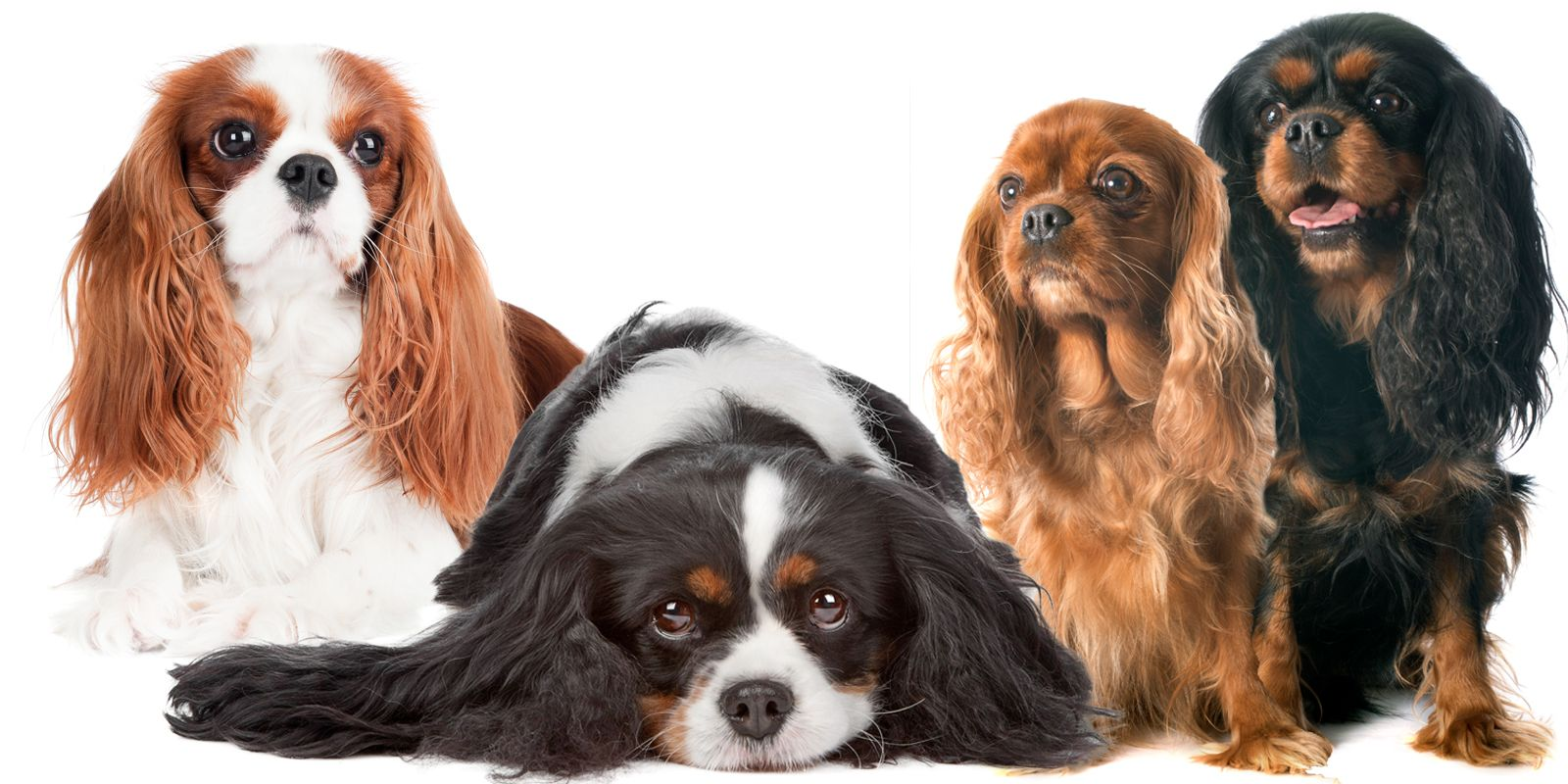 Cavalier King Charles Spaniel Nose Butter King Charles Spaniel Cavalier King Charles Cavalier King Charles Spaniel