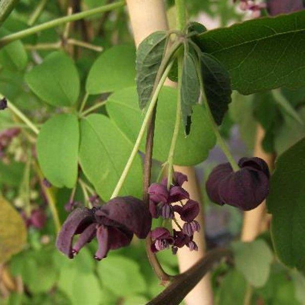 Akebia pentaphylla - Akebie hybride