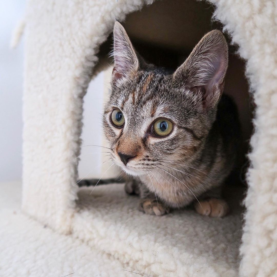 Before Adopting An Adorable Cat This The True Costs Of Owning A Kitten In 2020 Cat Adoption Cute Cats Owning A Cat