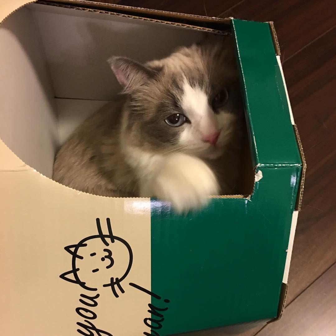 #catsofinstagram #cats #cat#pet#petstagram #lovecats #animal #catstagram #cutecats #persiancat #persiancatlovers #art #artwork #photography #ragdollcat #whitecat #ねこ #ねこ部 #ねこのいる暮らし #写真好きな人と繋がりたい #白猫 #ラグドール #チンチラシルバー#チンチラペルシャ #chinchillacat