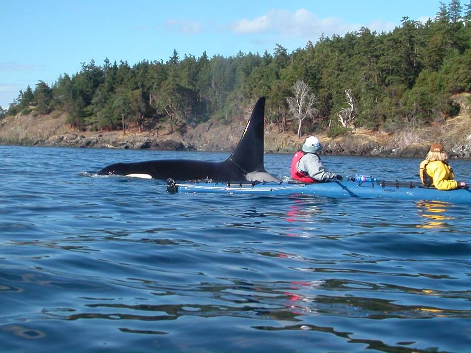 2 Worthy Reasons To Explore San Juan Islands Sea Kayaking Kayaking Orca