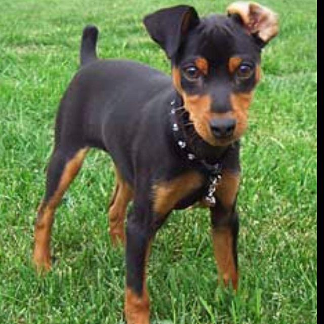 Picture Of A Miniature Pinscher Dog